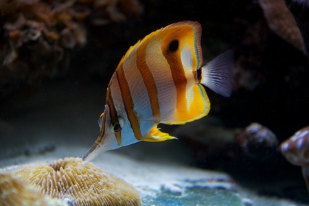 Copperband butterflyfish feeding on a coral reef photo