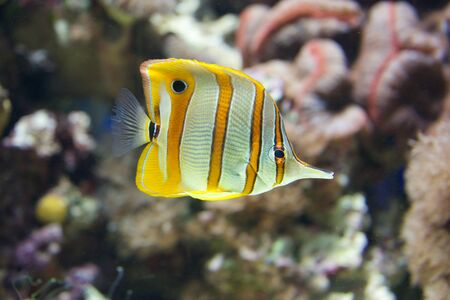 copperband butterflyfish: Copperband butterflyfish swimming through a coral reef Stock Photo