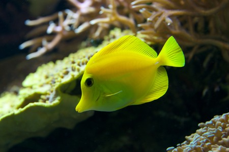 flavescens: Yellow tang swimming down through coral reef