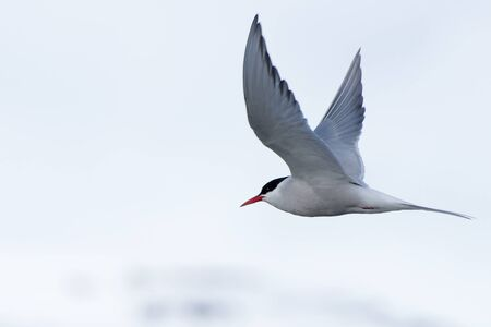 outspread: Arctic tern with outspread wings over iceberg