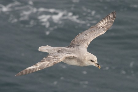 Close-up of fulmar gliding over Arctic sea Banco de Imagens
