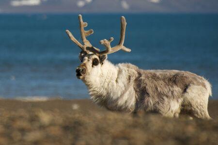shingle: Close-up of reindeer on a shingle beach Stock Photo