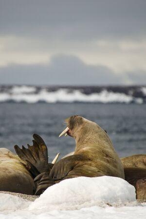 flipper: Morse Homme ouvrant la bouche et �lever flipper