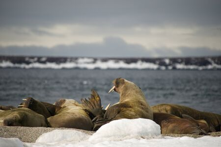 tusks: Walruses with giant tusks at Arctic haul-out Stock Photo