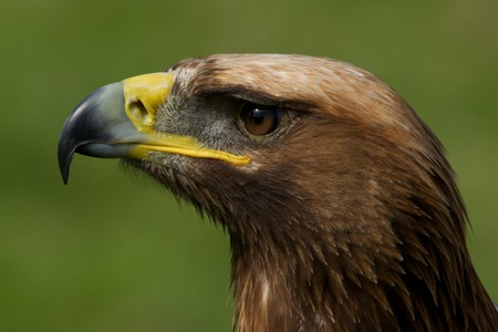 Close-up of golden eagle head looking up photo