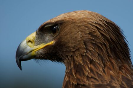 Close-up of golden eagle head staring downwards photo