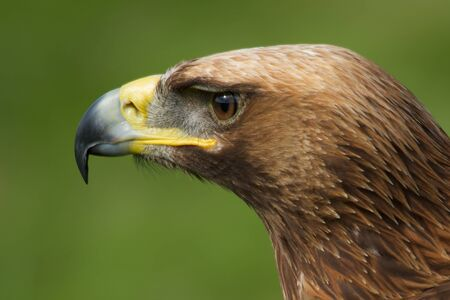 Close-up of golden eagle head looking left photo