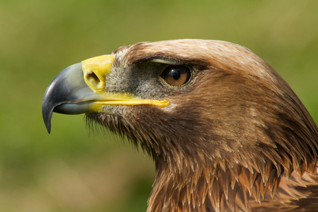 catchlight: Close-up of golden eagle head with catchlight