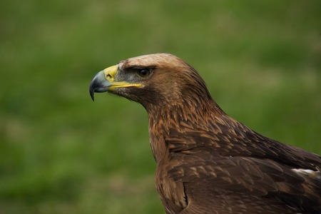 Close-up of golden eagle in grassy field photo