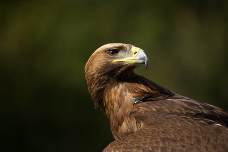 Close-up of golden eagle looking over back photo