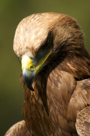 Close-up of golden eagle with head down photo