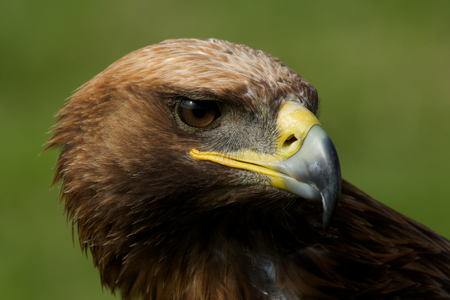 Close-up of golden eagle with turned head photo