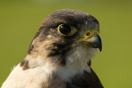 facing right: Close-up of peregrine falcon head facing right