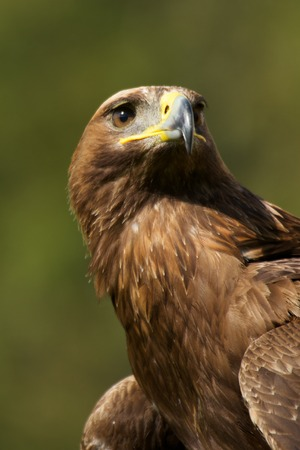 Close-up of sunlit golden eagle from below