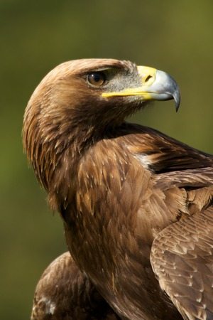 Close-up of sunlit golden eagle looking back photo