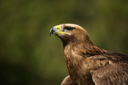 Close-up of sunlit golden eagle looking up photo