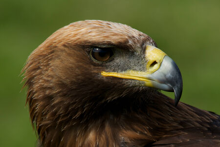 Close-up of turned head of golden eagle Stock Photo