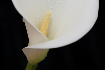 arum: Close-up of white arum or calla lily covered in water droplets against a black background