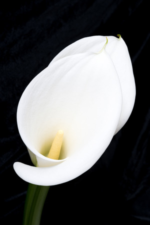 arum: Close-up of two white arum or calla lilies one behind the other, shot from the front against a black background