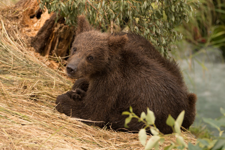 brooks camp: A brown bear cub turns towards the camera under a tree beside Brooks River, Alaska. It is sitting on a grassy bank, surrounded by foliage.