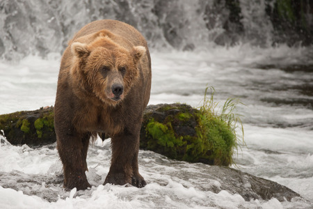 brooks camp: A brown bear is standing in front of a rock covered in green moss in Brooks River, Alaska. It is fishing for salmon just below Brooks Falls, which are visible in the background.