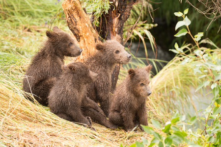 brooks camp: Four brown bear cubs are sitting by a tree on the grassy bank of Brooks River, Alaska. They are all looking in the same direction towards the river, where their mother is fishing for salmon.