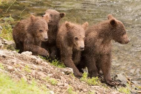 brooks camp: Four brown bear cubs are sitting on the bank of Brooks River, Alaska. Two are looking down river. Stock Photo