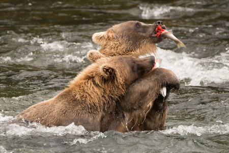 brooks camp: A brown bear holding a salmon in its mouth and another in its paws is trying to keep them away from a bear that is trying to eat them. They are both standing in the shallow rapids of Brooks River, Alaska. Stock Photo