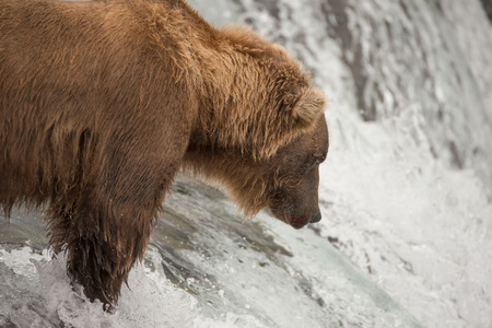 brooks camp: A brown bear is fishing for salmon at Brooks Falls, Alaska. It is looking down into the water, waiting for a salmon to jump up. Stock Photo