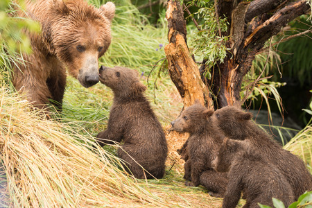 brooks camp: Four brown bear cubs greet their mother beside a tree on the grassy bank of Brooks River, Alaska. One is licking her, and the others are sitting behind it.