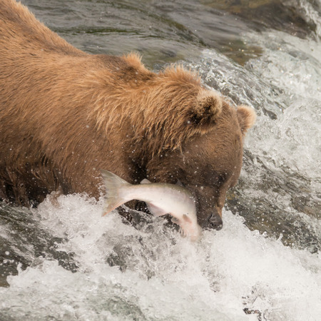 salmon falls: A brown bear is catching a salmon in its mouth at Brooks Falls. It has the fish between its jaws, surrounded by the white water of the waterfall.