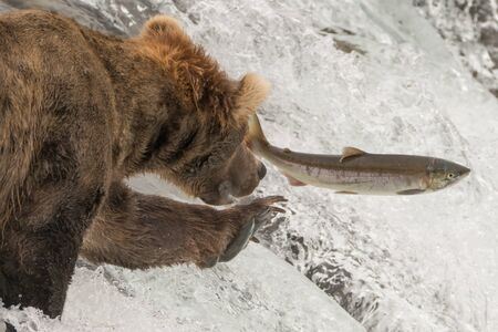 brooks camp: A brown bear is reaching out its left forepaw for a salmon leaping at Brooks Falls, Alaska. It is just a few inches away, surrounded by white water. Stock Photo