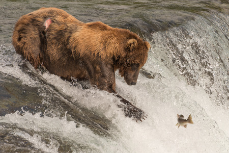 brooks camp: A brown bear with a scar on its back is staring at a salmon its about to catch at Brooks Falls, Alaska. The fish is only a few feet away from its mouth. Stock Photo