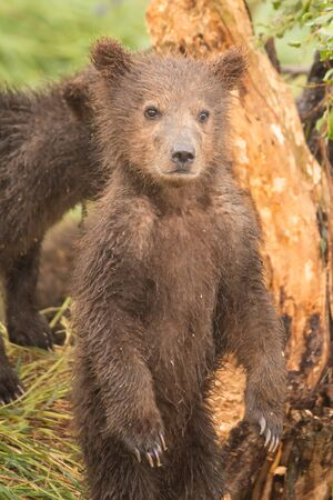 bear cub: A brown bear cub is standing on its hind legs in front of a tree. Behind it is another cub, partly hidden from view.