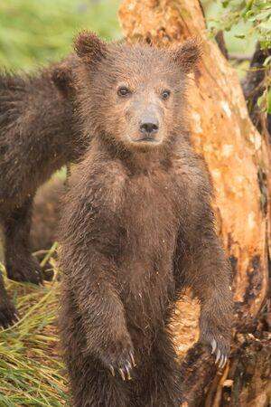 cachorro: Un cachorro de oso marrón está de pie sobre sus patas traseras en frente de un árbol. Detrás de ella es otro cachorro, en parte oculto a la vista. Foto de archivo
