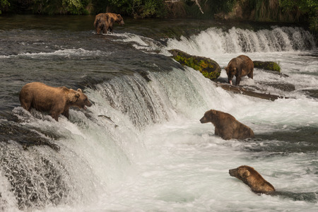 brooks camp: Five brown bears are fishing for salmon at Brooks Falls, Alaska. A salmon is trying to jump to the top of the waterfall, but a bear is just about to catch it in its mouth.