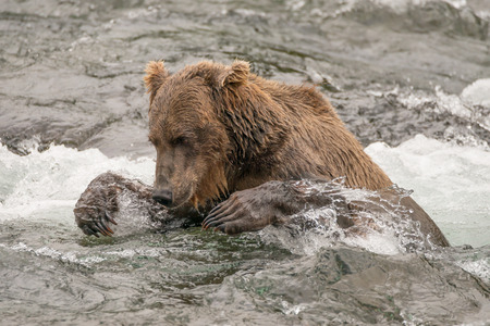 brooks camp: A brown bear up to its neck in the water tries to catch a salmon in the shallow rapids of Brooks River, Alaska. It is staring ahead intently and has both front claws out ready to grab the fish.