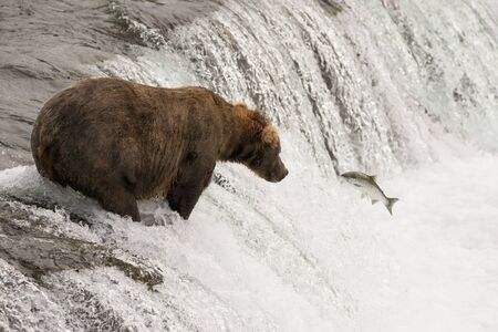 brooks camp: A brown bear watches a salmon leaping towards it at the top of Brooks Falls, Alaska. The fish is a foot away from the bears mouth.