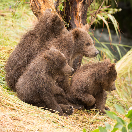 brooks camp: Four brown bear cubs are sitting by a tree on the grassy bank of Brooks River, Alaska. They are all looking in the same direction. Stock Photo