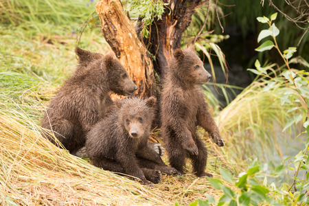 brooks camp: Three brown bear cubs are sitting by a tree on the grassy bank of Brooks River, Alaska. Another is standing on its hind legs and looking towards the river.