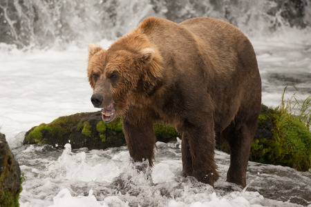 brooks camp: A brown bear yawns in Brooks River, Alaska. It  is standing in front of a rock covered in green moss, fishing for salmon just below Brooks Falls, seen in the background.