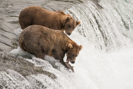 brooks camp: A brown bear is just about to catch a salmon in its mouth from the top of Brooks Falls, Alaska. Another bear is standing behind it.