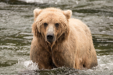 salmon falls: A brown bear is wading through the shallow rapids of Brooks River, Alaska. It has been fishing for salmon just below Brooks Falls.