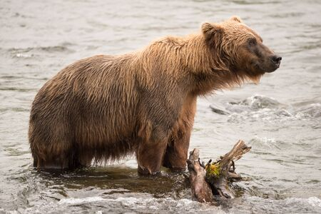 brooks camp: A brown bear is standing beside a log in the shallow rapids of Brooks River, Alaska. It is fishing for salmon just below Brooks Falls.