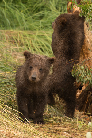 brooks camp: A brown bear cub is looking at the camera, while another tries to climb a tree. They are on a grassy bank surrounded by foliage.