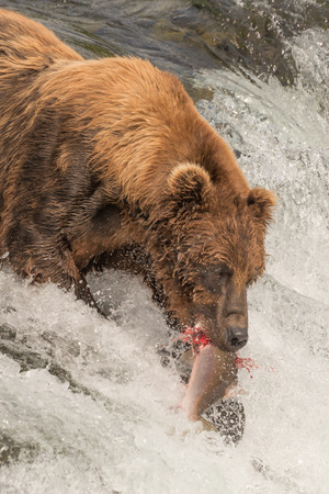 brooks camp: A brown bear is catching a salmon in its mouth at the top of Brooks Falls, Alaska. The salmon is in the bears jaws, just above the white water of the waterfall. Stock Photo