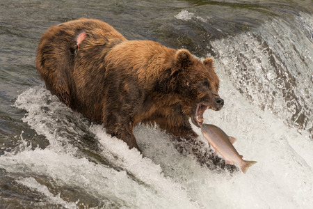 A brown bear with a scar on its back is about to catch a salmon in its mouth at the top of Brooks Falls, Alaska. The fish is only a few inches away from its gaping jaws.