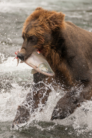 brooks camp: A brown bear is holding a salmon in its mouth in the shallow rapids of Brooks River, Alaska. It is fishing for salmon just below Brooks Falls and is turning its head to look for them.