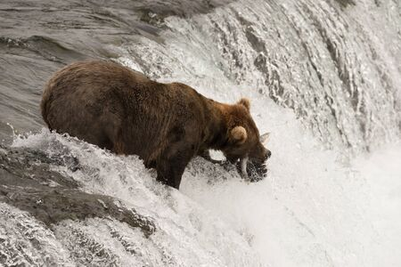 brooks camp: A brown bear is holding a salmon in its mouth that it has just caught at Brooks Falls, Alaska. It is standing at the top of the waterfall with white water all around it.
