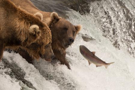 リーピング サーモンは、アラスカ、ブルックス滝で 2 つのクマに向かってジャンプします。それらの 1 つはその口でキャッチの数センチ以内です。